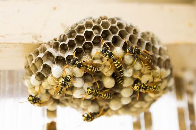 Schakel ons in voor de wespenbestrijding ongediertebestrijding in Zwolle