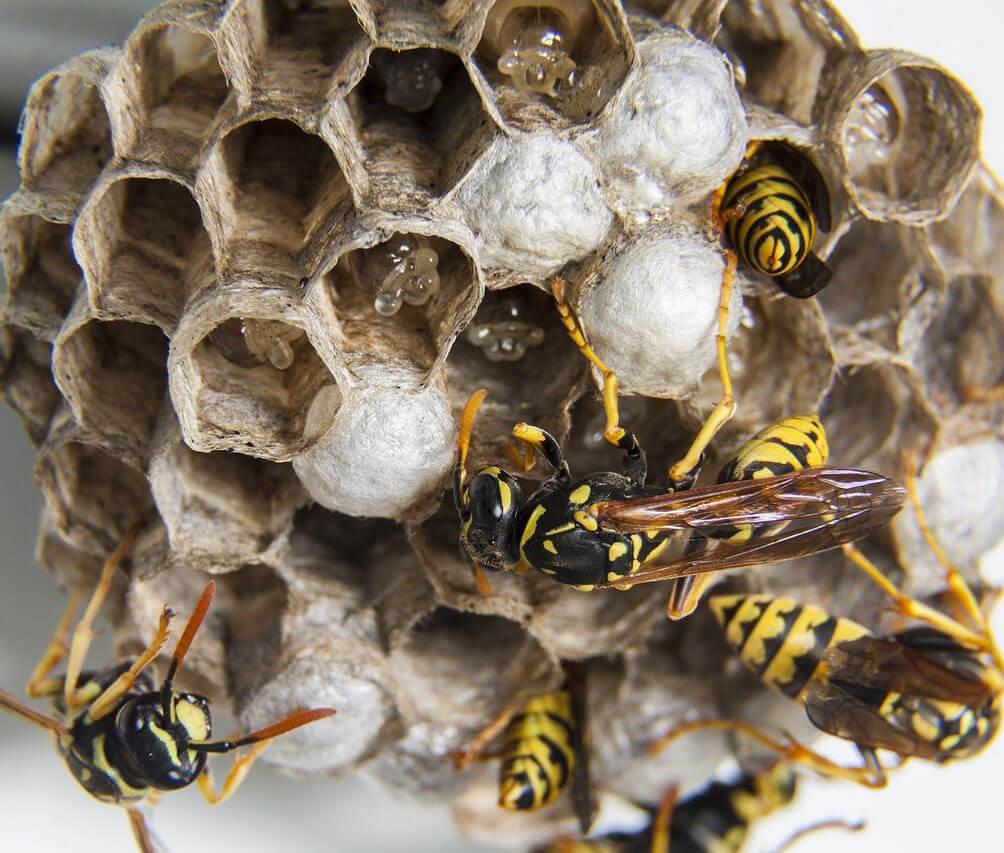 Wespen en ongediertebestrijding in soest